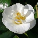 Camellia japonica 'A.W. Jessep'
