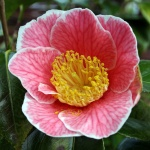 Camellia japonica 'Adelina Patti'