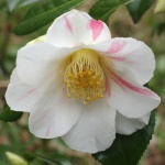 Camellia japonica 'Admiral Spry'