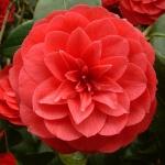 Camellia japonica 'Alfredo Capellini'