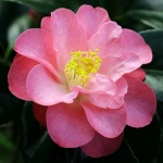 Camellia japonica 'Alison Leigh Woodroof'