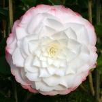 Camellia japonica 'Amazing Graces'