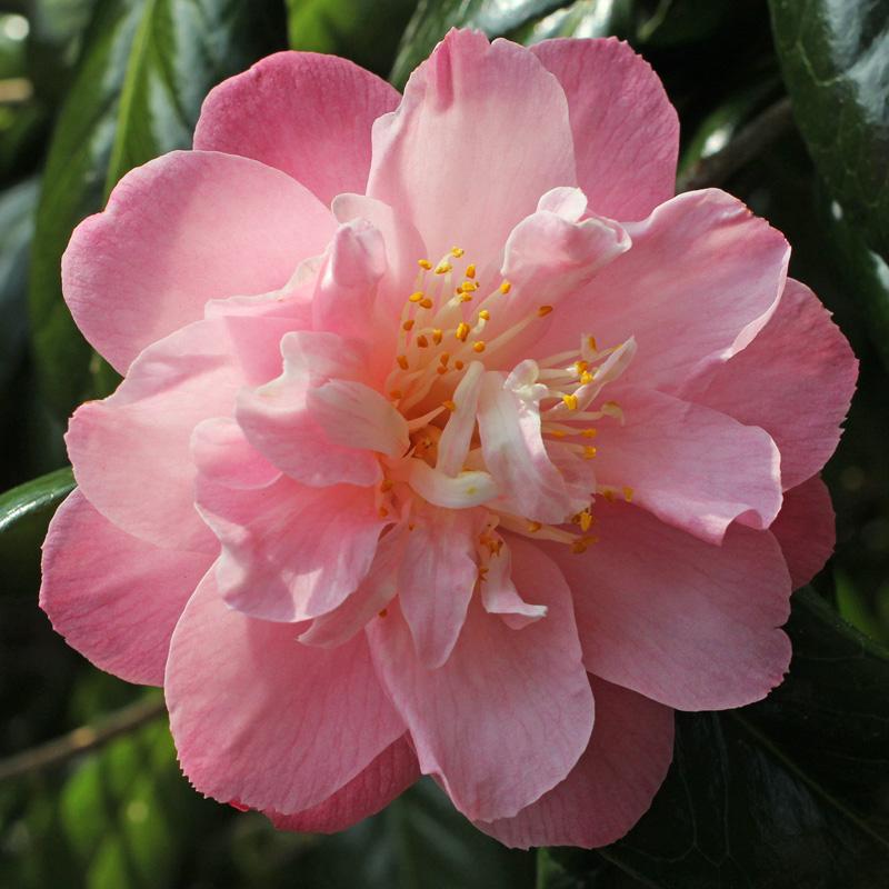 Camellia japonica 'Ann Sothern'