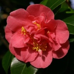 Camellia japonica 'Anna M. Page'