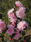 Camellia 'Annette Carol'
