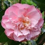 Camellia japonica 'Annie Wylam'