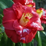Camellia japonica 'Apollo Variegated'