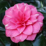 Camellia japonica 'April Rose'