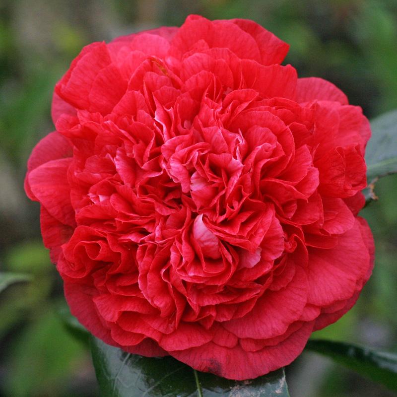 Camellia japonica 'Arthur Gayle'
