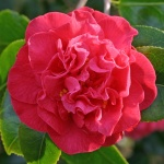 Camellia japonica 'Australis'