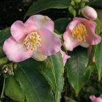 Camellia 'Baby Bear'