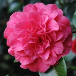 Camellia japonica 'Bella Romana Pink'
