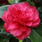 Camellia japonica 'Beni Daikagura'