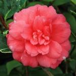 Camellia japonica 'Benten Kagura'