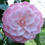 Camellia japonica 'Berenice Perfection'