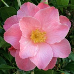 Camellia 'Bett's Supreme'
