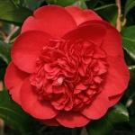 Camellia japonica 'Betty Robinson'