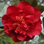 Camellia japonica 'Bob Hope'