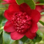 Camellia japonica 'Bob's Tinsie'