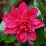 Camellia hyemalis 'Bonanza'