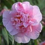 Camellia 'Bonnie Marie'