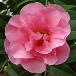 Camellia x williamsii 'Bowen Bryant'