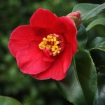 Camellia japonica 'Bright Buoy'