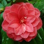 Camellia japonica 'C.M. Hovey'