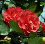 Camellia japonica 'Campbellii'