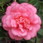 Camellia japonica 'Can can'
