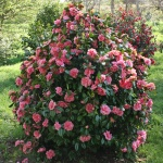 Camellia japonica 'Cécile Brunazzi'