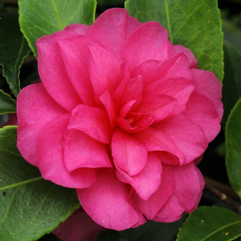 Camellia hiemalis 'Chansonette'