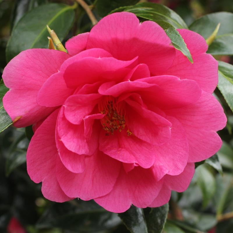 Camellia x williamsii 'Charity'