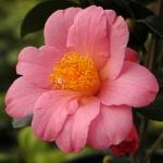 Camellia x williamsii 'Charlotte Petherick'