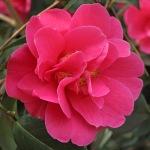 Camellia x wiliamsii 'Cheapside'