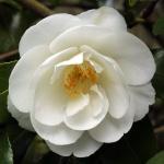 Camellia x williamsii 'China Clay'