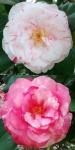 Camellia japonica 'Clotilde'