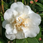 Camellia japonica 'Cloud Nine'
