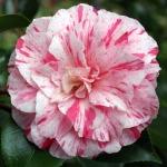 Camellia japonica 'Compte de Gomer'