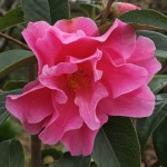 Camellia 'Confucious'