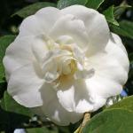 Camellia japonica 'Conrad Hilton'
