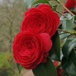 Camellia japonica 'Coquettii'