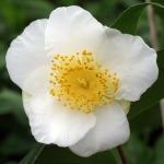 Camellia 'Cornish Excellence'