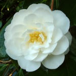 Camellia japonica 'Coronation' (US)