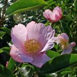 Camellia sasanqua 'Cotton Candy'