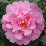 Camellia 'El Dorado'