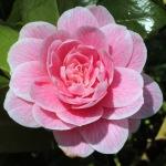 Camellia japonica 'Elizabeth Arden'