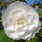 Camellia japonica 'Elizabeth Cole'