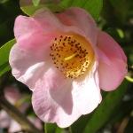 Camellia x williamsii 'Elizabeth de Rothschild'