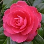 Camellia japonica 'Erica Sievers'